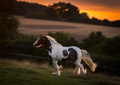 Hemel Hempstead Equine Photographer