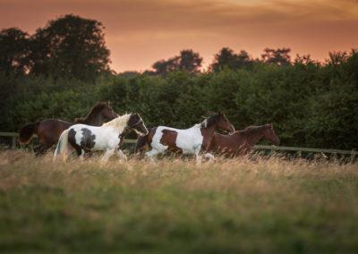 Hertfordshire Equine Photographer